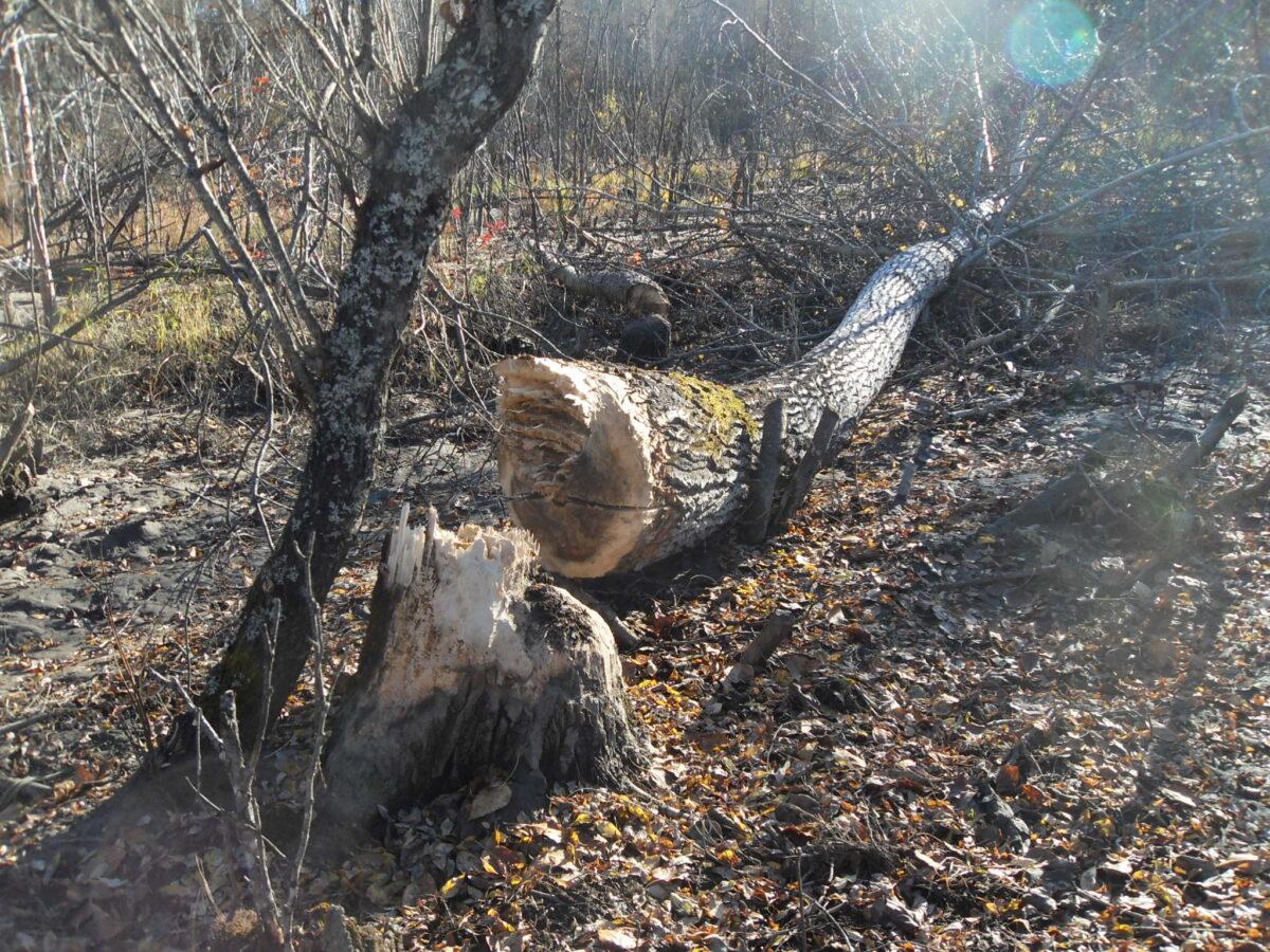 Beaver Mudflats